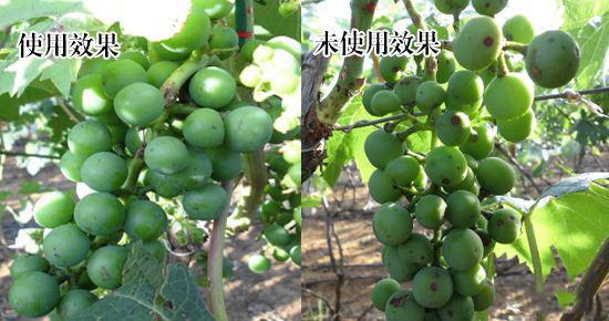 果树使用沃丰生物肥料的效果对比