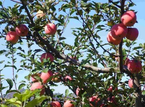 果树为什么要疏花疏果